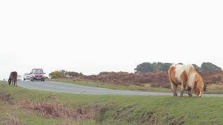 LYNDHURST, UK - MARCH 10, 2014: Vehicles drive past free roaming grazing ponies in the New Forest National Park
