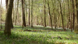 Man walks through English woods carpeted by Bluebell flowers in Spring