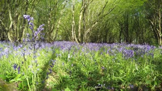 Time-lapse of tree shadows passing over Bluebell flowers in a forest