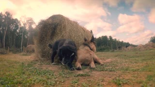 Two farm dogs play with sticks and straw