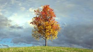 Autumn maple tree on cloudy sky