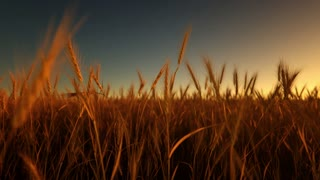 wheat field on sunset animation loop