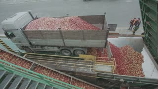 Trucks Unload Fresh Apples. Fresh Fruits Passing The Conveyor Belt In The Factory For Industrial Juice Production. Close Up, Focus On The Fruits
