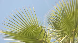 Green plant and blue sky. Palm tree leaves. Warm climate of tropics.