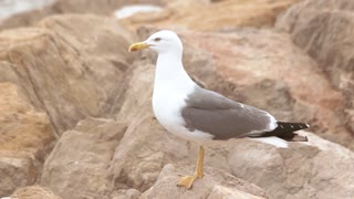 Seagull on the rocks. Gull is walking. Born to be free.