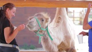 10. 08. 2016, Kyiv, Ukraine. Girl feeding a camel in the zoo. Bactrian camel eats fruit.