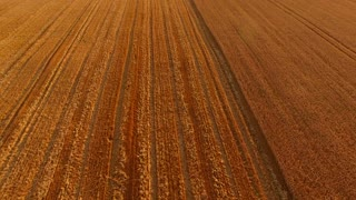 Aerial view of golden field. Wheat field and dust. Crop growing tips.