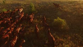 Aerial view of running horses. Horserider and herd. Stallions rush forward. Man controls the wild power.