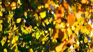 Autumn tree leaves close up. Focused tree branch.
