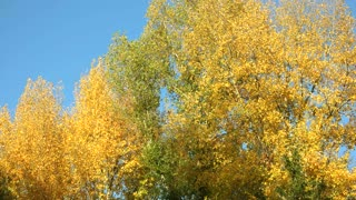 Autumn trees motion background. Clear blue sky.