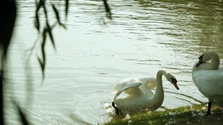 beautiful white swans symbolize love