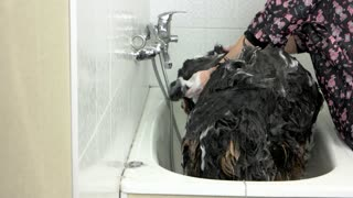 Bernese dog being bathed. Hands washing dog, shampoo.