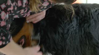 Bernese mountain dog being groomed. Dog groomer with deshedding tool.
