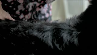 Bernese mountain dog fur. Dog groomer working, undercoat rake.