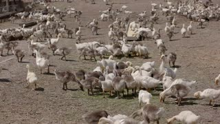 Big herd of geese. Birds walk and peck hay. Under the warm summer sun. Poultry farm in countryside.