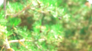 Blurred pine tree in forest. Green nature background.