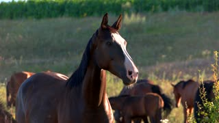 Brown horse is chewing. Animals on a meadow. Wild herd near a field. Composure and power.