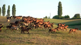 Brown horses running on grass. Clear sky over meadow. Breed of horses from Russia. Animals are being trained.