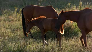 Brown horses walk on meadow. Animal is eating grass. Group of stallions. Beauty of wild nature.