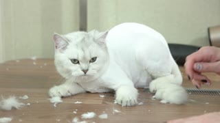 Cat and female hands. Cute animal after haircut. Facts about cats.