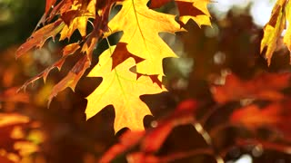 Colourful autumn oak leaves. Windblowing on leaves background.