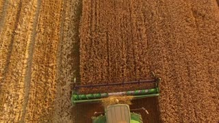 Combine harvester cutting wheat. Machine working in the field.