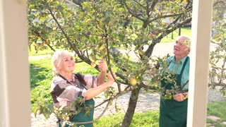 Couple of old gardeners working. Man in apron, garden shears. Apple tree pruning tips.