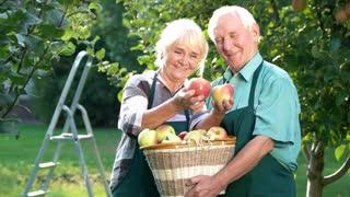 Couple of senior gardeners smiling. Old man holding apple basket. Fruits of spring.