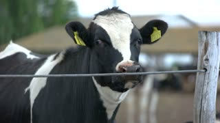 Cow near fence. Cattle with tag on ear. Animal that gives milk. Welcome to the farm.