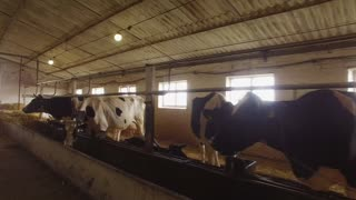 Cows in a stall. Horned animals chew food. Agriculture needs investments. Improve conditions for livestock.