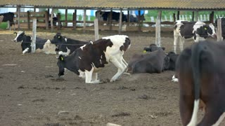 Cows lying on the ground. Group of cattle near fence. Animals are feeling tired. Livestock farm brings profits.