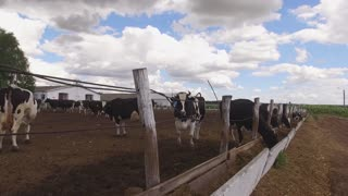 Cows with tags on ears. Livestock and cloudy sky. Animal breeding in rural area. Ranch in summer.
