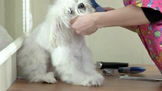Dog groomer brushing white maltese. Small adorable dog.
