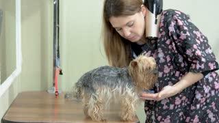 Dog groomer with york terrier. Inside dog grooming salon. Experienced pet groomer.