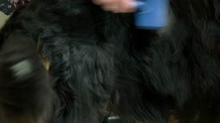 Dog, hand using slicker brush. Bernese mountain dog fur texture.