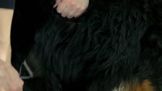 Dog, hands using undercoat rake. Black dog fur texture.