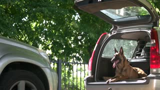 Dog in a car trunk is barking on a stranger. Dog is training to protect a property.