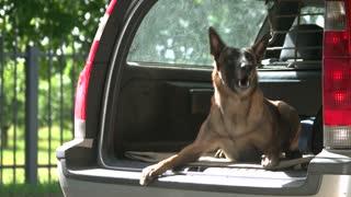 Dog is barking inside a car trunk. Dog is lying and barking inside a car trunk.