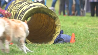 Dog is coming inside and out of a tunnel. Icelandic sheepdog is coming inside and out of a tunnel, slow motion.