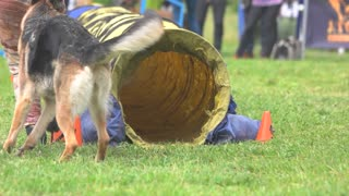Dog is doing agility exercises. Shepherd dog is doing agility exercises by passing through tunnel. Sheepdog run in slow motion.