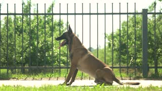 Dog is executing commands. Shepherd malinois dog is executing commands in front of a fence.