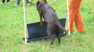 Dog is jumping over a low jump bar. Dog is obediently jumping over.