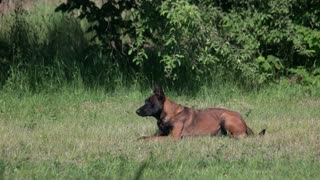 Dog training commands execution. Dog training commands execution in a wild nature amoung the meadow.
