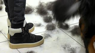 Dog wagging tail close up. Animal hair, pet salon floor. Canine behavior study.