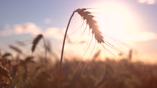 Ear and sun in background. Stem moves in the wind. Harvest is wealth of country. Reap what you sow.
