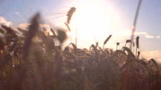 Ears and sun in background. Stems are slightly moving. Ecology has influence on harvest. Land has become more fertile.