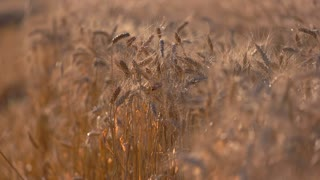 Ears in the field. Stems moving in the wind. Time of reaping has come. Harvest feeds the country.