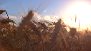 Ears on sun background. Field and sky. Find sense of life. Season brought rich crops.
