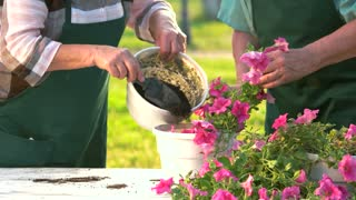 Elderly hands working with flowers. Petunias and soil pot.