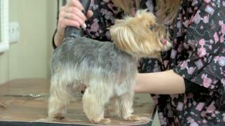 Female dog groomer, york terrier. Little dog getting haircut.